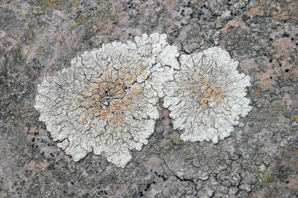 MNA Squamarina Lichen