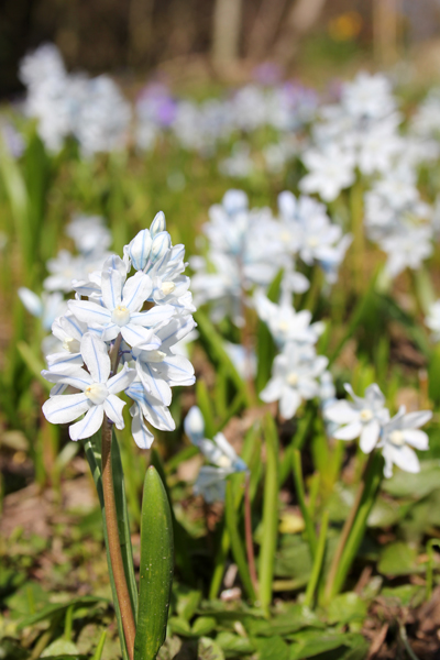 MNA Striped Squill