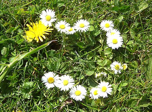 18 Birkenhead daisy ring