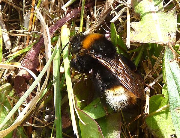 18 Birkenhead garden bumblebee