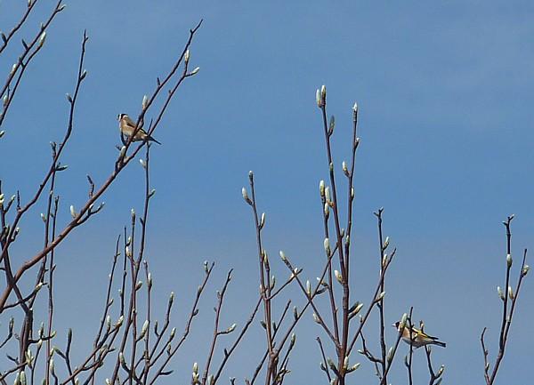 18 Birkenhead goldfinches