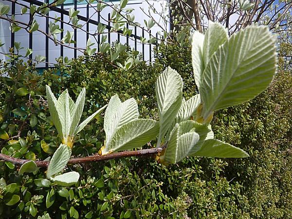 18 Birkenhead whitebeam leaves