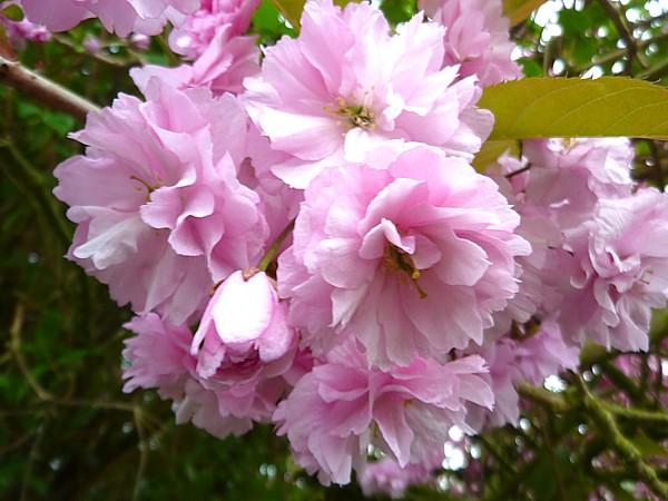 19 Hale cherry blossom