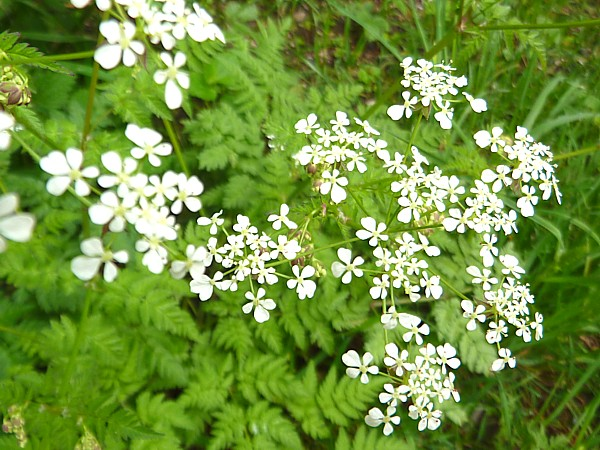20 Canal 3 Cow Parsley