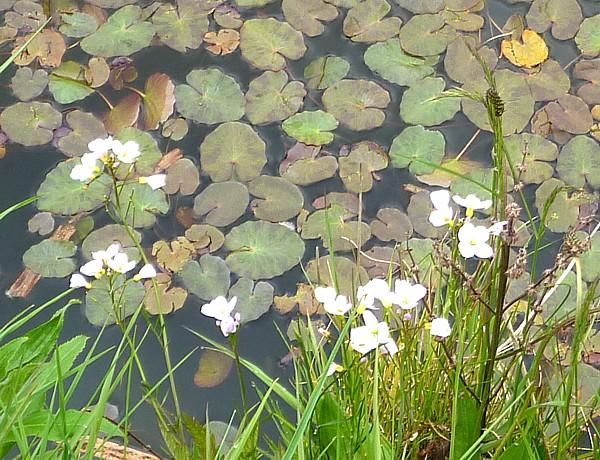 20 Canal 3 Cuckooo flower