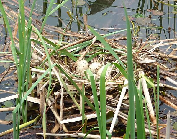 20 Canal 3 Moorhen nest