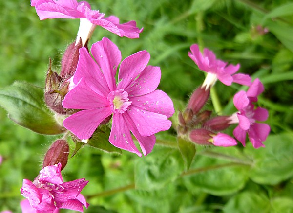 20 Canal 3 red campion