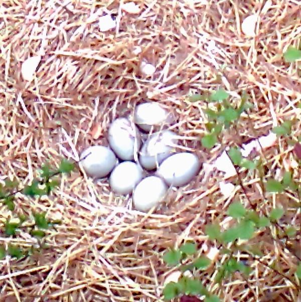 20130511 Swan eggs