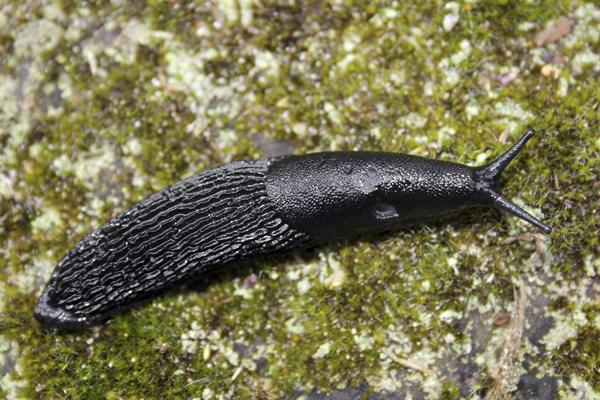 MNA Cannock Black Slug1