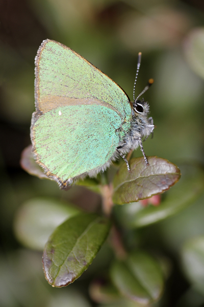 MNA Cannock Green Hairstreak1ac