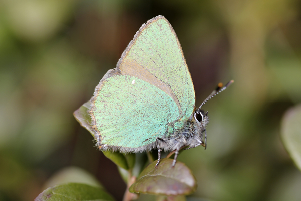 MNA Cannock Green Hairstreak2