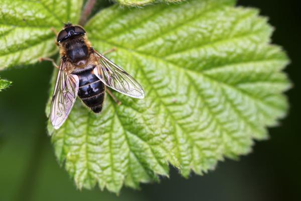 MNA Cannock Hoverfly