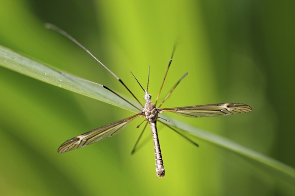 MNA Ness Gardens Cranefly1