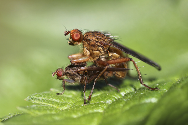 MNA Ness Gardens Mating Dung Flies1