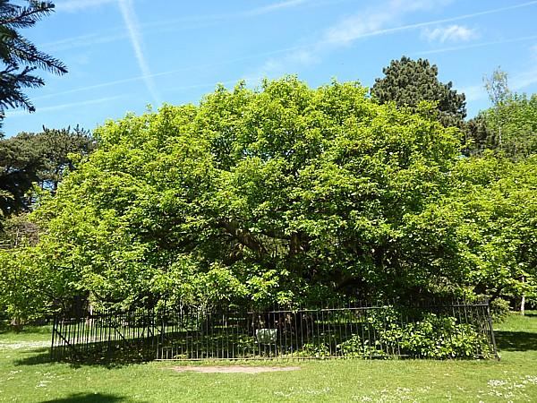 22 Calderstones Allerton oak