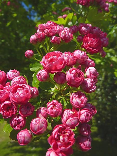 22 Calderstones pink hawthorn