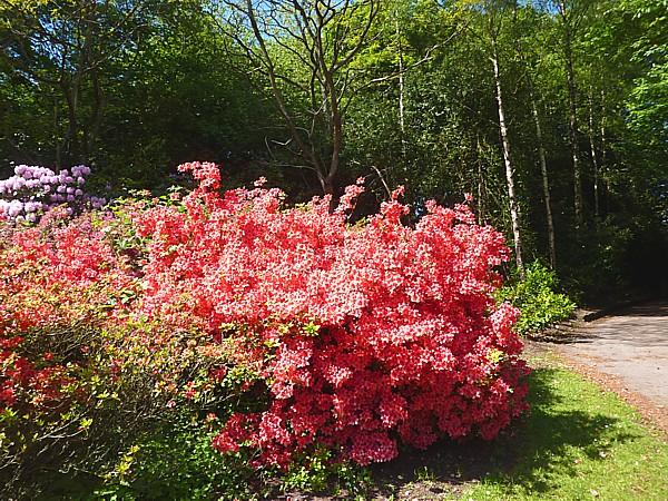 22 Calderstones red azalea