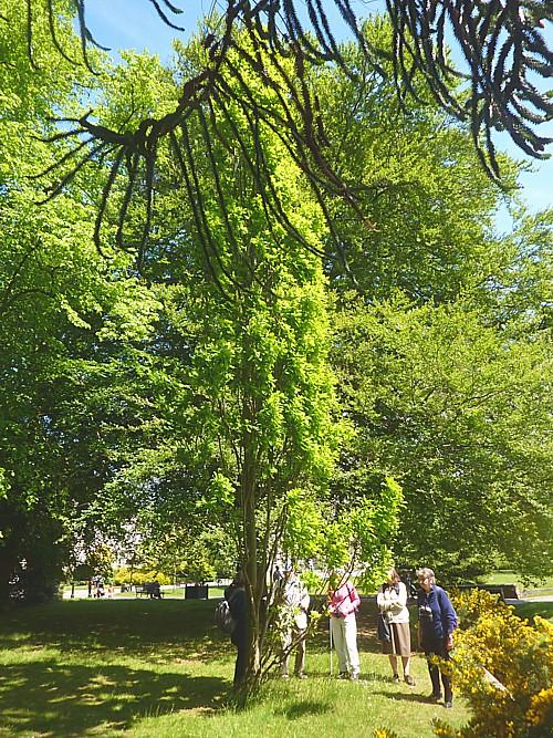 22 Calderstones upright oak