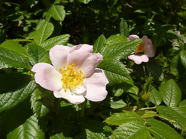 23 Neston Dog rose