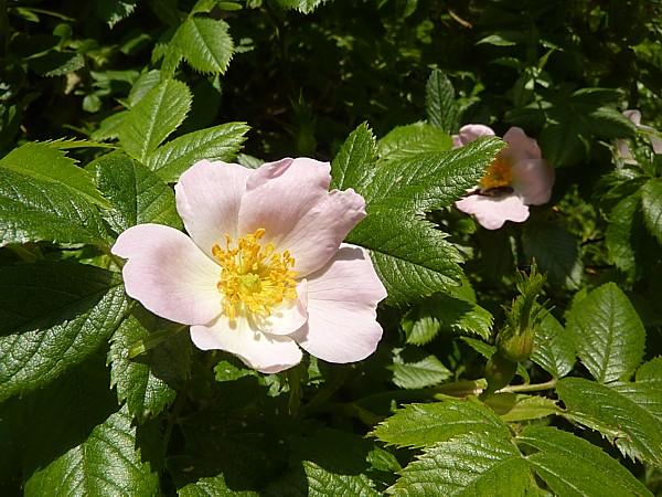 23 Neston Dog rose