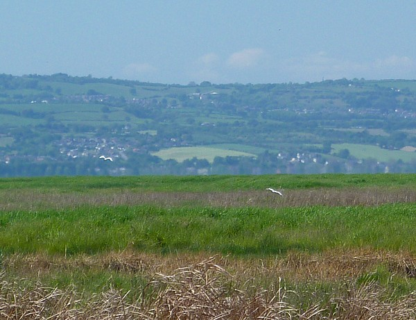 23 Neston Egret over marsh