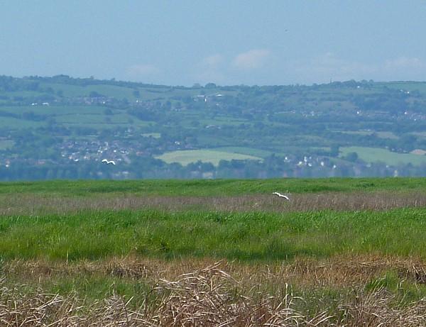 23 Neston Egret over marsh