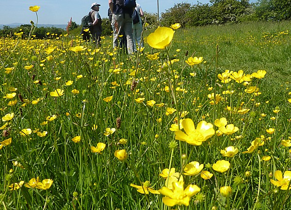 23 Neston buttercup field