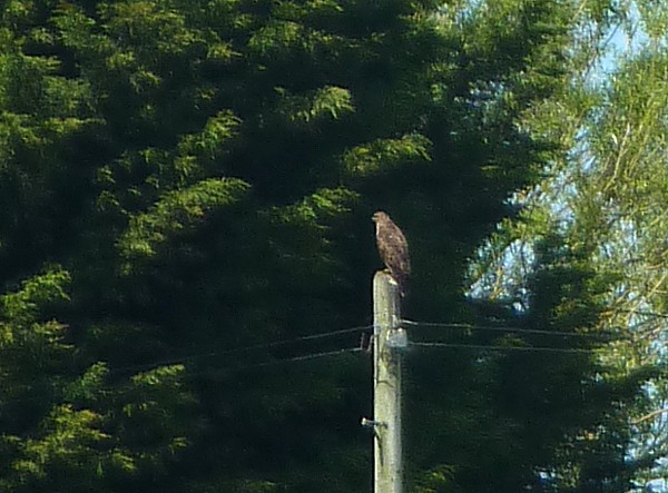 23 Neston buzzard