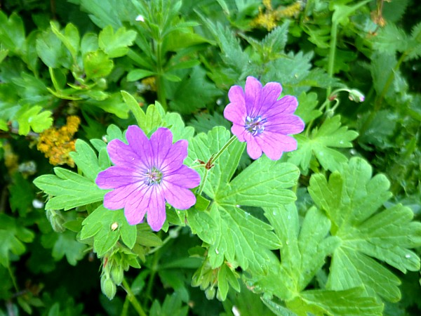 23 Neston hedgerow cranesbill