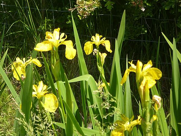 23 Neston iris