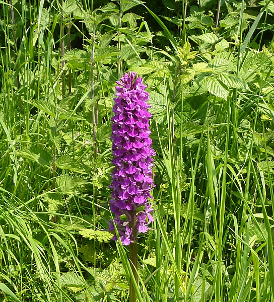 23 Neston orchid