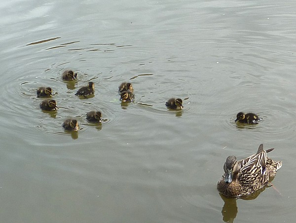 24 Canal 4 ducklings