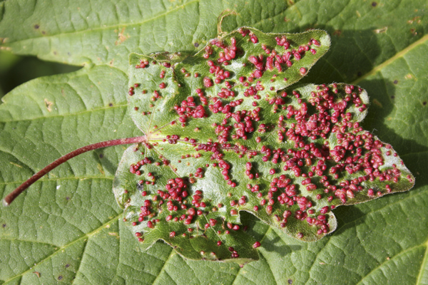 MNA Acrefair Field Maple Gall1