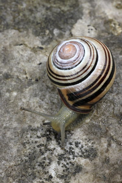 MNA Hutton Roof Banded Snail1