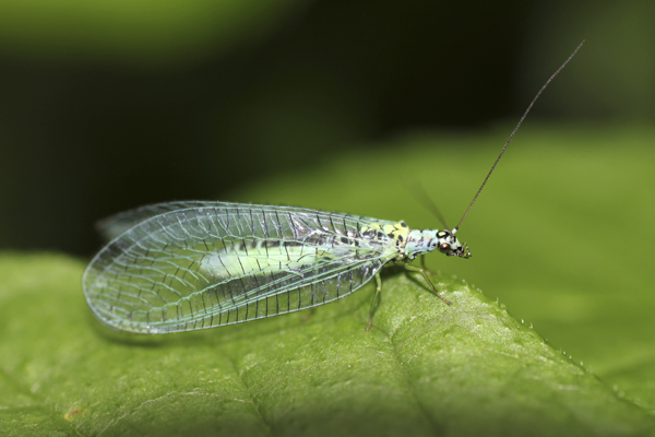 MNA Hutton Roof Green Lacewing1