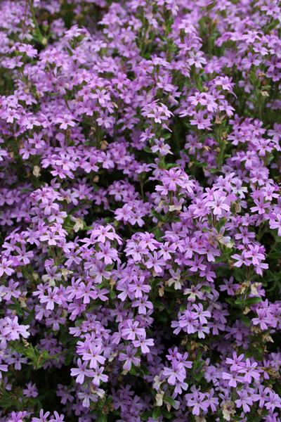 MNA Hutton Roof Purple Saxifrage
