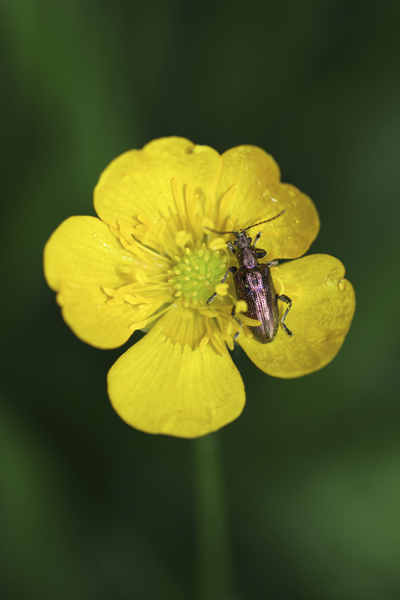 MNA Leighton Moss Flower Beetle1