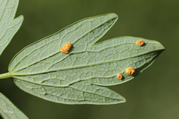 MNA Wheldrake Ings Marsh Valerian Rust1