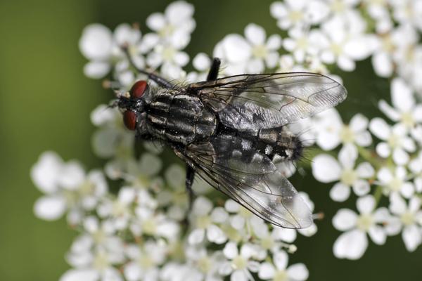 MNA Wheldrake Ings Muscid Fly1