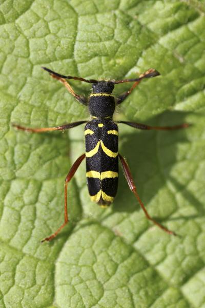 MNA Wheldrake Ings Wasp Beetle1
