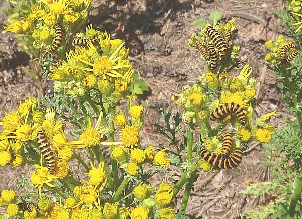 26 Freshfield caterpillars