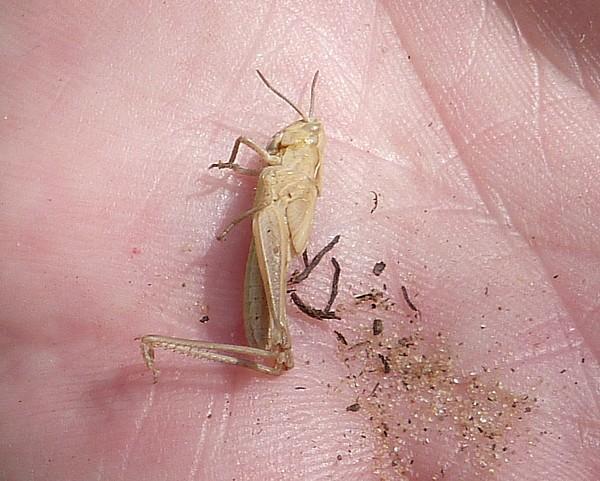 26 Freshfield grasshopper