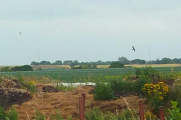 27 Canal 5 black kites