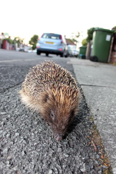 MNA Bootle Hedgehog1