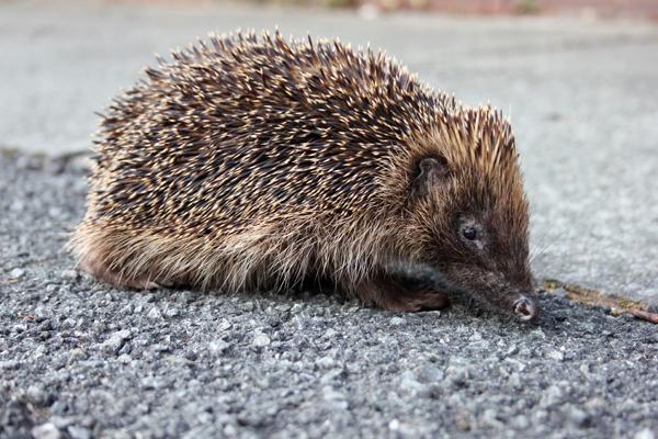 MNA Bootle Hedgehog2