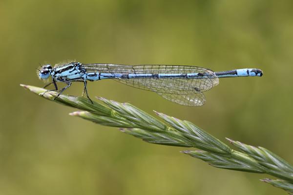 MNA Lathkill Dale Common Blue Damselfly1