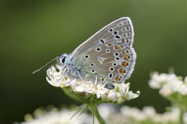 MNA Lathkill Dale Common Blue1