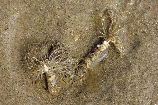 MNA Llanddwyn Sand Mason Worm1
