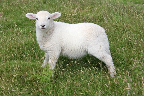 MNA Pistyll Lamb