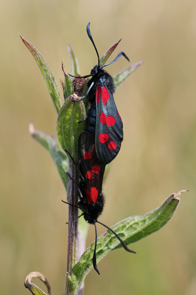 MNA Trefor Burnet Moths